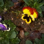 fragilité de la fleur et résistance à l'intempérie