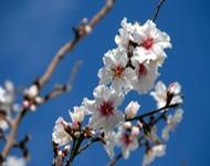 fleurs d'amandier au printemps